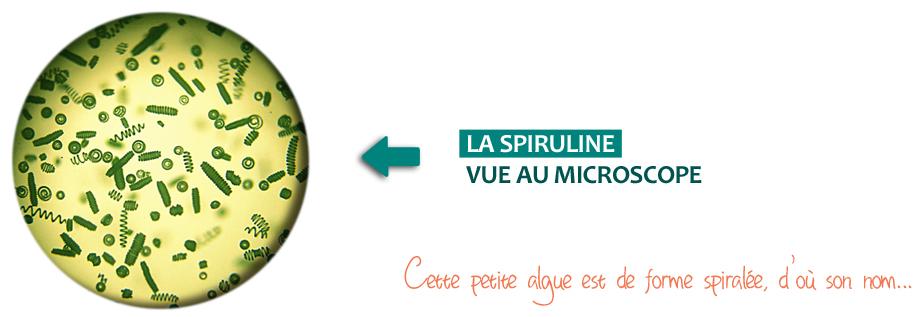 Spiruline vue au microscope : une algue spiralée